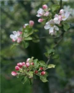 blomning