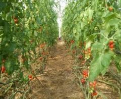 tomatodl