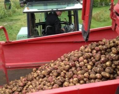 överby potats